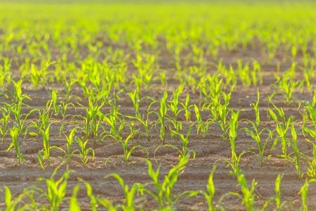planta de maiz: El maíz dispara agricultor planta de la primavera campo de la agricultura en crecimiento