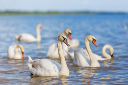 water birds: Swans on the lake beautiful wyite water birds river Stock Photo