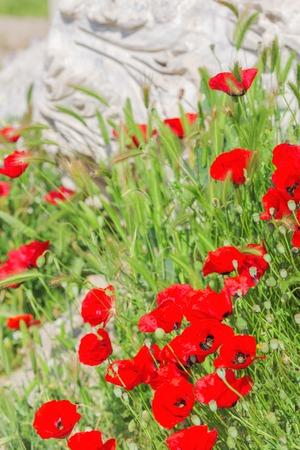 reg: Blooming reg poppies flowerd background ancient ruin