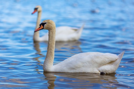 swimming swan: Swans on the lake beautiful white water bird Stock Photo