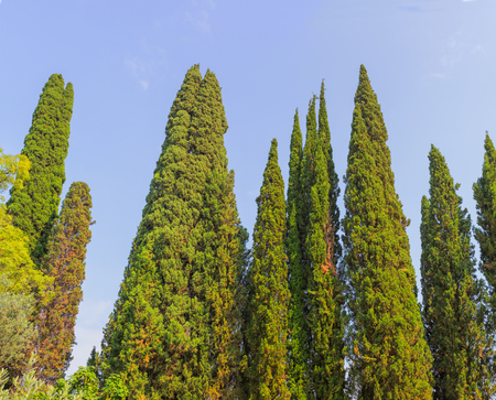 subtropics: Cypress trees crowns on blue sky background