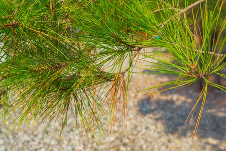 pine needles close up: Pine tree needles close up view at sunny day