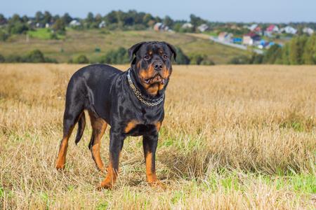 background  grass: Rottweiler dog on natural background grass field