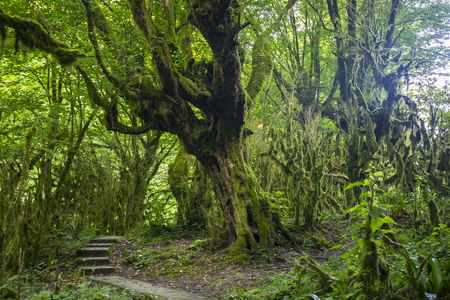 relict: Fairytale forest with wild mossy boxwood trees