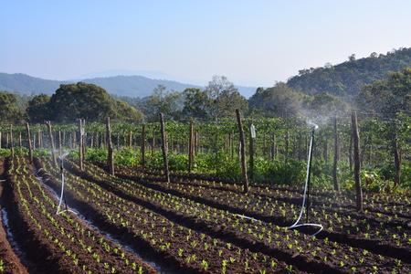 cabbage patch: watering vegetable garden