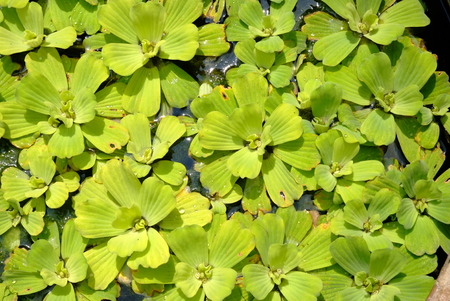 thrust: The scientific name Pistia stratiotes L.common name Water lettuce in nature