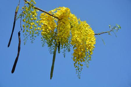 fistula: Golden shower tree on sky background Stock Photo