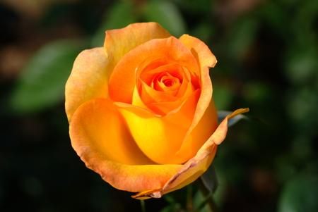 yellow roses: Bud de rosas amarillas