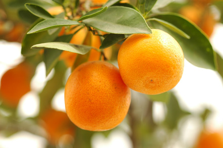 branch orange tree fruits green leaves Stock Photo