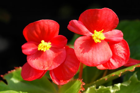 Red begonia flowers closeup in the garden