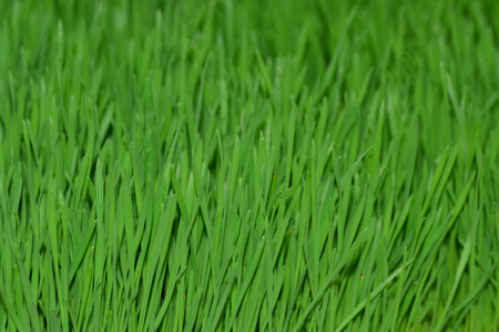 enzymes: Nutritious homegrown Wheatgrass plants