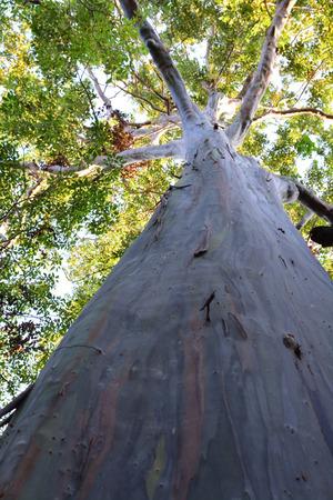 eucalyptus tree: Rainbow Eucalyptus Tree Stock Photo