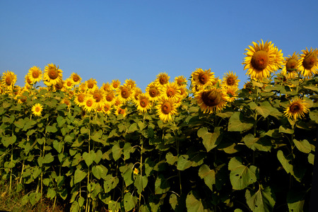 sun lit: Sunflower is also used as bird food, as livestock forage and in some industrial applications.