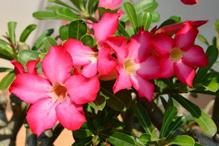 obesum: Red Desert Flower, adenium obesum