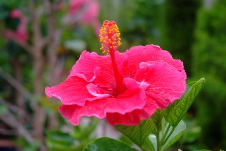 flower gardens: hibisco rosado, hibisco schizopetalus o Coral flor del hibisco, en el árbol. ** Nota: poca profundidad de campo