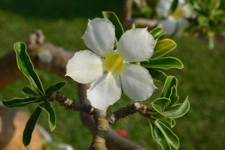 obesum: White Desert Flower, adenium obesum Stock Photo