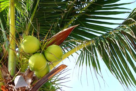 cloud drift: coconut on the tree