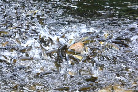Mahseer Barb fish Stock Photo