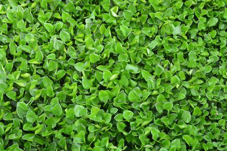 water hyacinth: crowd water hyacinth in river