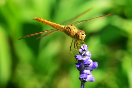 macro nature: Dragonflies, insects, animals, nature, macro Dragonfly - focus on the eye.