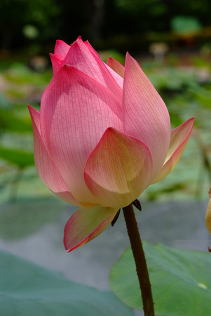 Lotus flower, rare flower. Ancient flower. Symbol of purity. Symbol of Buddhism, Nelumbo, Lotus orehonosny, Species listed in the Red book, Nelumbo nucifera, a Plant in of Asia and Orient