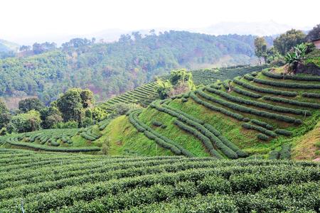assam tea: tea plantations