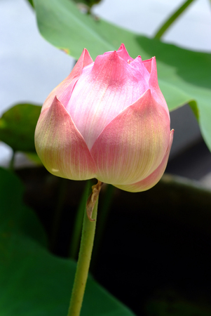 nelumbo nucifera: Lotus flower, rare flower. Ancient flower. Symbol of purity. Symbol of Buddhism, Nelumbo, Lotus orehonosny, Species listed in the Red book, Nelumbo nucifera, a Plant in of Asia and Orient