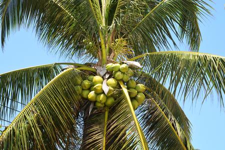 cloud drift: Coconut fruits