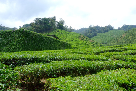 assam tea: tea plantations ** note  select focus with shallow depth of field:ideal use for background.