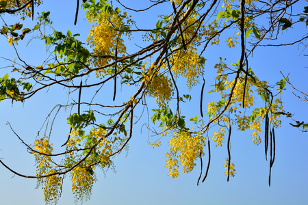 the drumstick tree: Purging Cassia national flower of Thailand