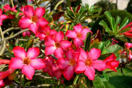 adenium: Red Desert Flower, adenium obesum