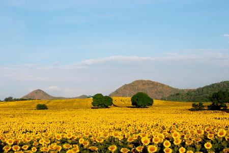 flower fields: sun flowers field in Thailand