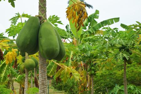papaya flower: The papaya tree with fruits.