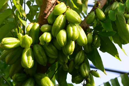 pius: Bilimbi (Averrhoa bilimbi) on tree Stock Photo