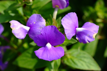 pea shrub: Blue Hawaii flower, Brazilian Snapdraon flower
