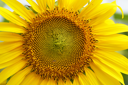 helianthus: close-up of a beautiful sunflower in a field Stock Photo