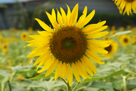close-up of a beautiful sunflower in a field Stock Photo