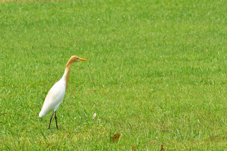 Cattle Egret ( Bubulcus ibis) Stock Photo
