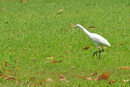 kwazulu natal: Cattle Egret ( Bubulcus ibis) Stock Photo