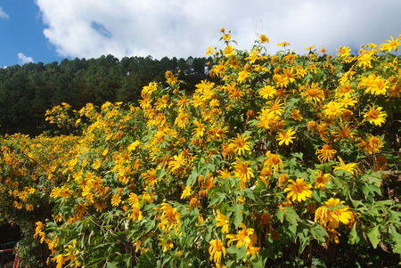 tree marigold: Tree marigold, Mexican tournesol, Mexican sunflower, Japanese sunflower, Nitobe chrysanthemum at Mae U Kho, Khun Yuam District, Tree marigold at Mae Hong Son, Thailand