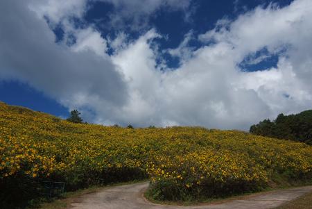 japanese chrysanthemum: Tree marigold, Mexican tournesol, Mexican sunflower, Japanese sunflower, Nitobe chrysanthemum at Mae U Kho, Khun Yuam District, Tree marigold at Mae Hong Son, Thailand