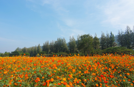 A landscape view of cosmos flower field (farm)