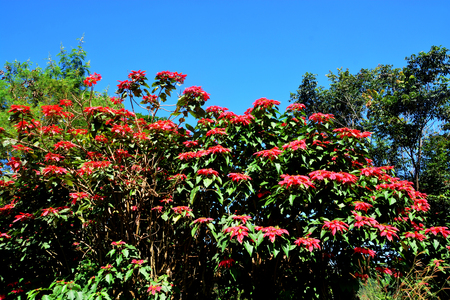 bracts: Christmas star or Poinesettia, Red poinsettia flowers (Euphorbia pulcherrima)