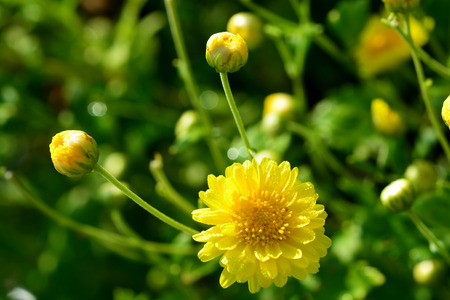 linn: Chrysanthemum indicum Linn flowers. Or Chrysanthemum morifolium Ramat flowers in plantation Stock Photo