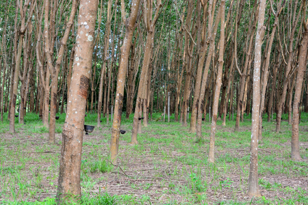 deepness: Row of para rubber tree in plantation, Rubber tapping Stock Photo