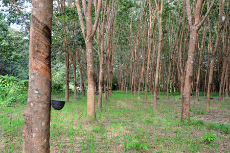 para: Row of para rubber tree in plantation, Rubber tapping Stock Photo