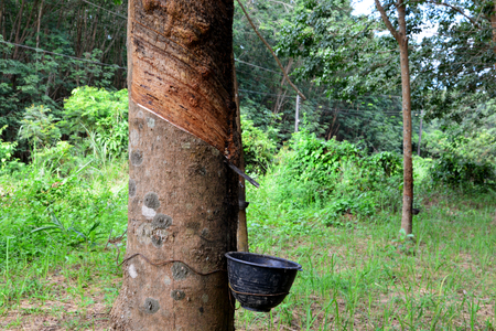 Row of para rubber tree in plantation, Rubber tapping Stock Photo