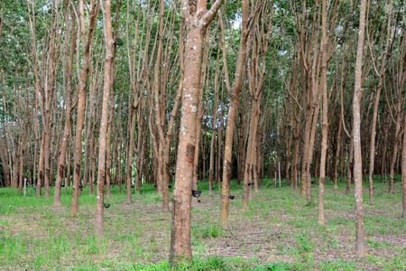 tapping: Row of para rubber tree in plantation, Rubber tapping Stock Photo