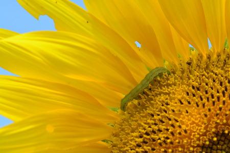 closeup green worm on petal of yellow sunflower