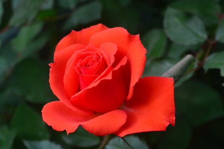 Close up Beautiful red rose flower very shallow depth of field